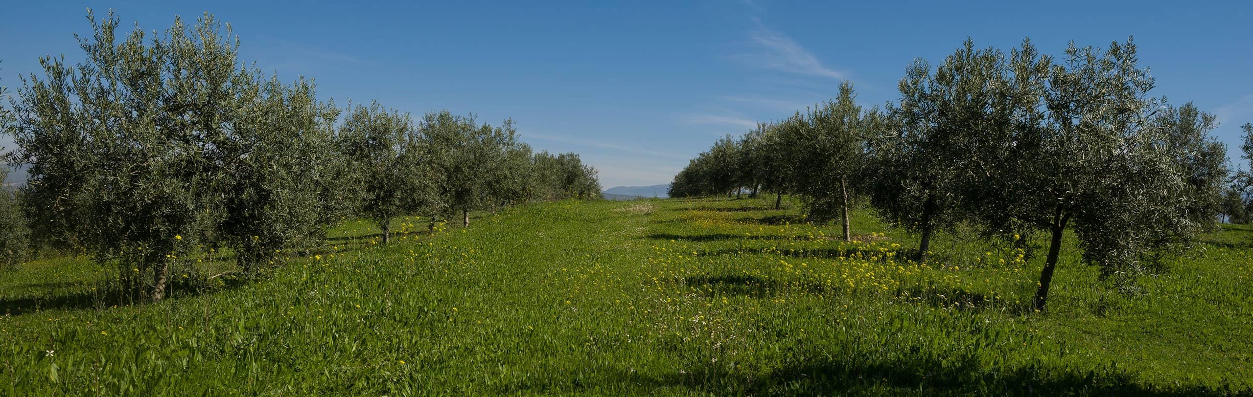 Vista a pie de campo de nuestra hacienda vadolivo primavera Aove Cazorla