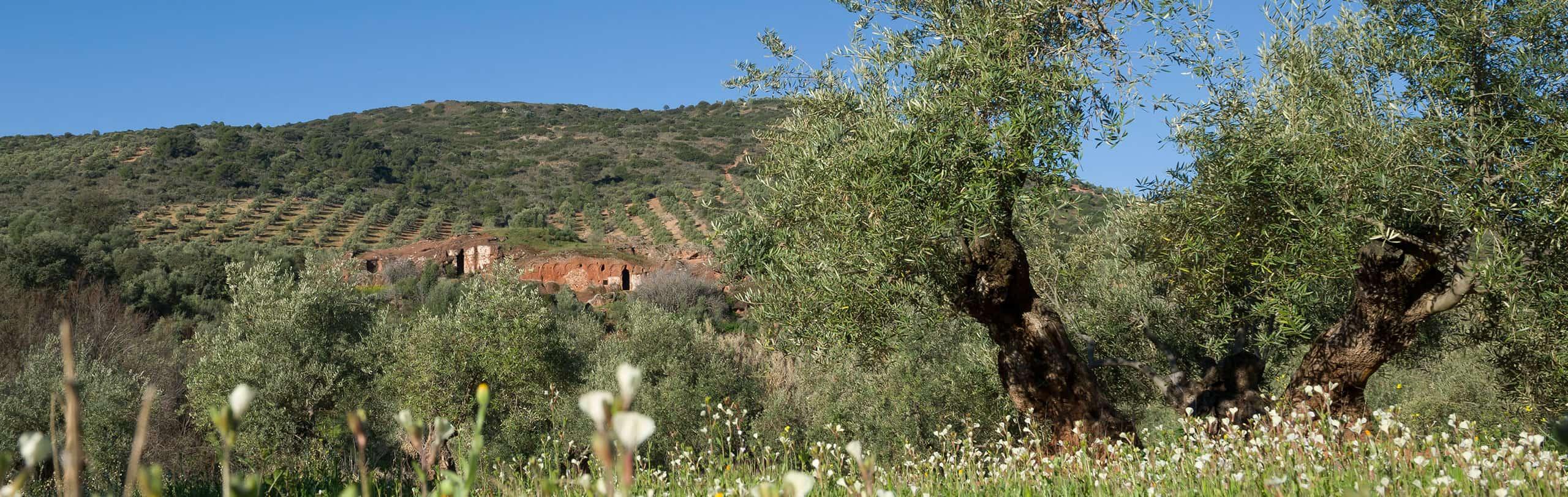 Nestra hacienda, vista a pie de campo hojiblanca royal de Vadolivo Sierra de Cazorla