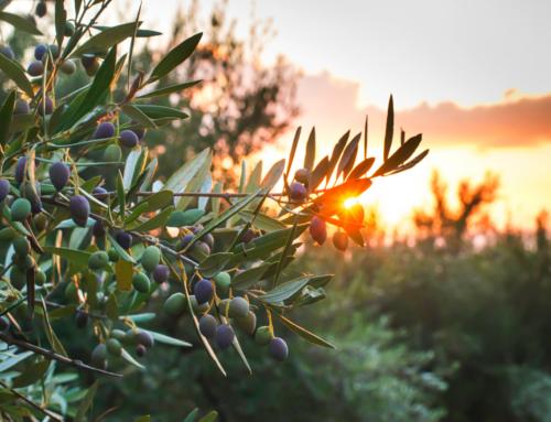 Estados fenológicos del olivo